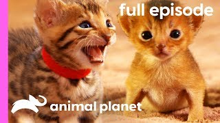 Persian, Bengal, and Abyssinian Kittens   Too Cute! (Full Episode)