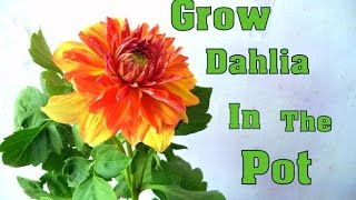 How to Grow Dahlia Winter Flower In the Pot  | Dahlia Tips & Care  | Gardening Tips // Mammal Bonsai