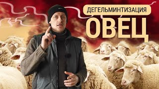 Дегельминтизация овец