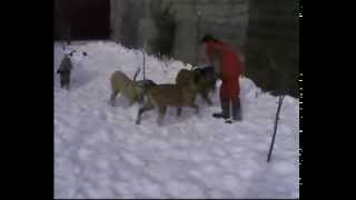 Щенки Английского  Мастифа   www.mastiff-dog.com