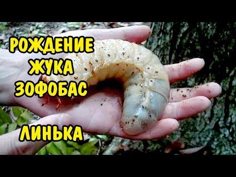 Вопрос: Как ухаживать за личинками зофобас?