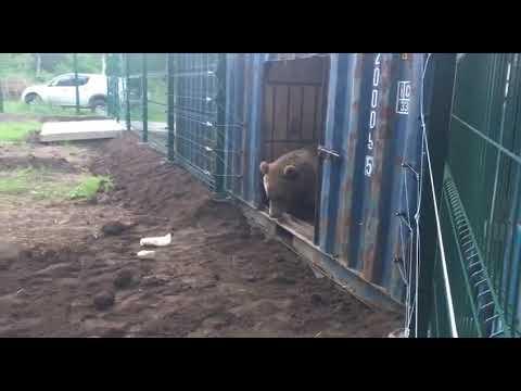 Не решается медведь выйти в новый вольер