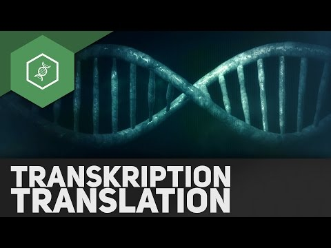 transkription amp translation â   genetik abi special