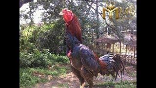 Top Hits -  Ayam Petok
