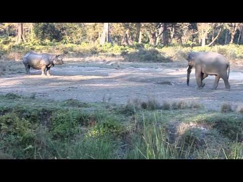 Rhino vs Elephant, Jaldaprada, West Bengal, India