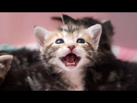 Epic Battle of the Tabbies: 4 Week Old Kittens Learn to Play