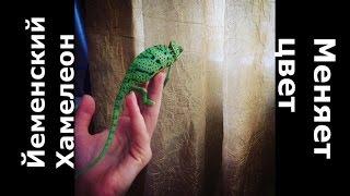 №6. Йеменский хамелеон меняет цвет/Долой мифы/Реальная смена цвета