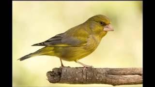 Голоса птиц  Зеленушка