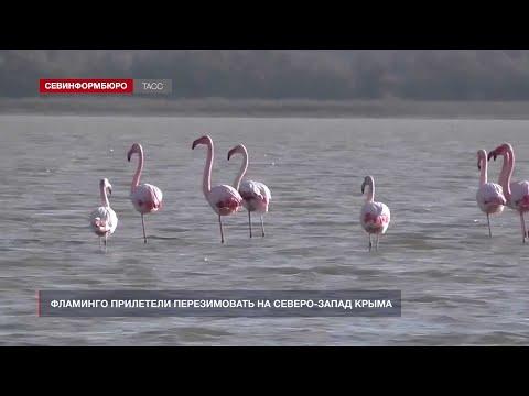 НТС Севастополь: Фламинго прилетели перезимовать на северо-запад Крыма