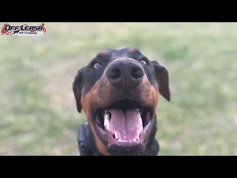 "5 Month Old Doberman Pinscher ""Joey"" Before/After Video 