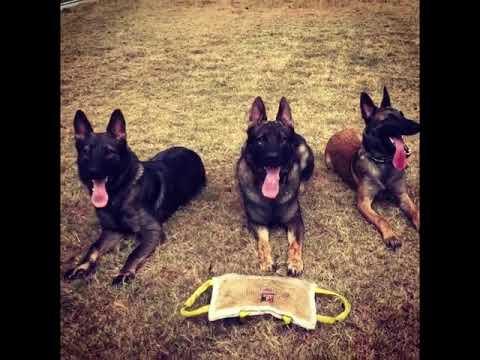 Best  GERMAN SHEPHERD In The World .... . ...Obbedience..Training...Defense Dog
