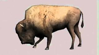 friedliches weibliches Bison beim Grasen