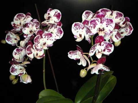 орхидеи и их виды