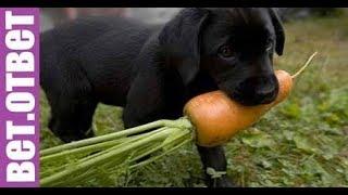 Этот щенок ест только овощи и фрукты от мяса он отказывается. ВетОтвет