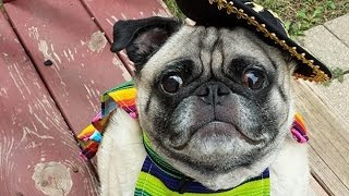 Costume Party Pug