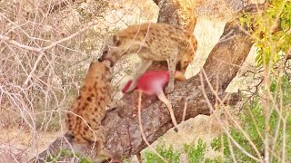 Why Hyenas Shouldn't Climb Trees