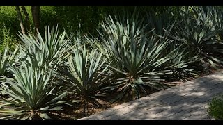 How to move yuccas |Daphne Richards |Central Texas Gardener