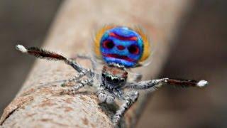 Семь новых видов танцующих пауков найдено в Австралии (новости)