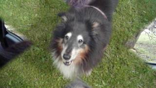 This is dedicated to Jacob my Sheltie,as he is 12 years old and is ...