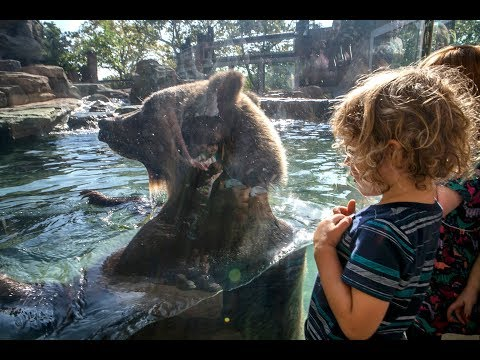 Grizzly Bears explore new home at St. Louis Zoo