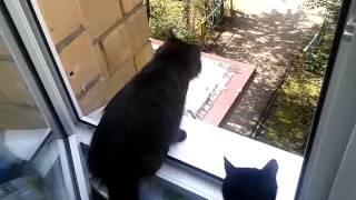 Охота домашних кошек на голубей .mp4