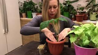 видео Сингониум уход и выращивание