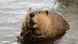 13 Amazing Beaver Facts