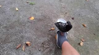 怪我した鳩のヒナを息子が拾ってきました。2週間を過ぎた頃にはこんな...