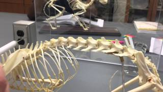 Cat skeleton. Comparative anatomy. Governors State University. Spring 2015