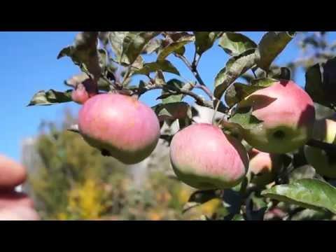 Хит №1 Как сохранить яблоки на зиму? Как хранить яблоки в домашних условиях