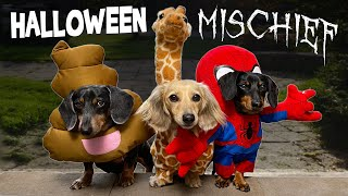 HALLOWEEN MISCHIEF  Cute & Funny Wiener Dogs Go Trick or Treating!
