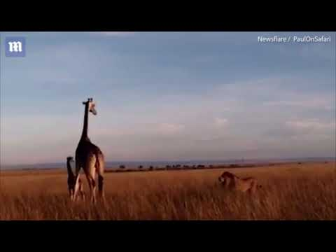 Mama Giraffe is unsuccessful in protecting her calf from Lion