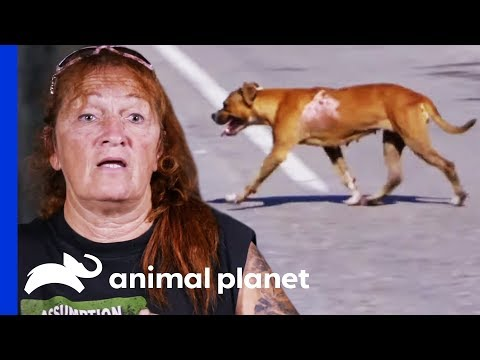Attempting A Difficult And Dangerous Rescue On The Edge Of A Highway | Pit Bulls & Parolees