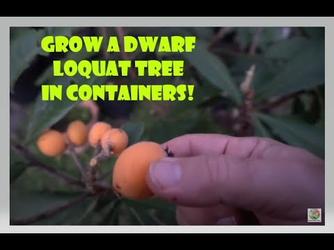 Dwarf Loquat Fruit Tree in Container