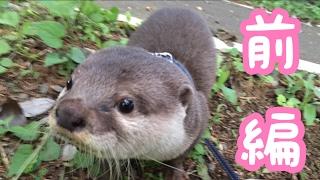 カワウソさくらが外の世界を駆け回る 前編 otter