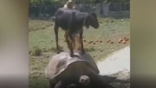Animals funny videos -  GOAT STANDS ON THE TURTLE