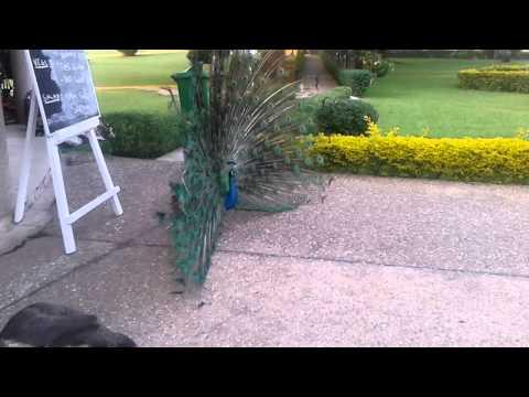 Full peacock display at Anyinam Lodge, Obuasi, Ghana.