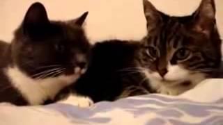 Влюблёное общение кошек!