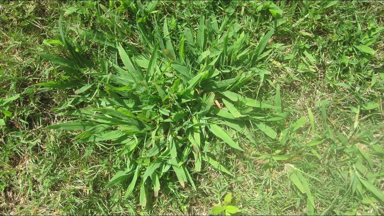 Kill Crabgrass Post Emergent The Easy Way Youtube