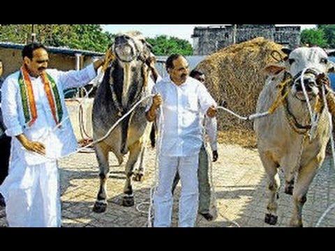 ongole bulls show in shilparamam tv5 youtube