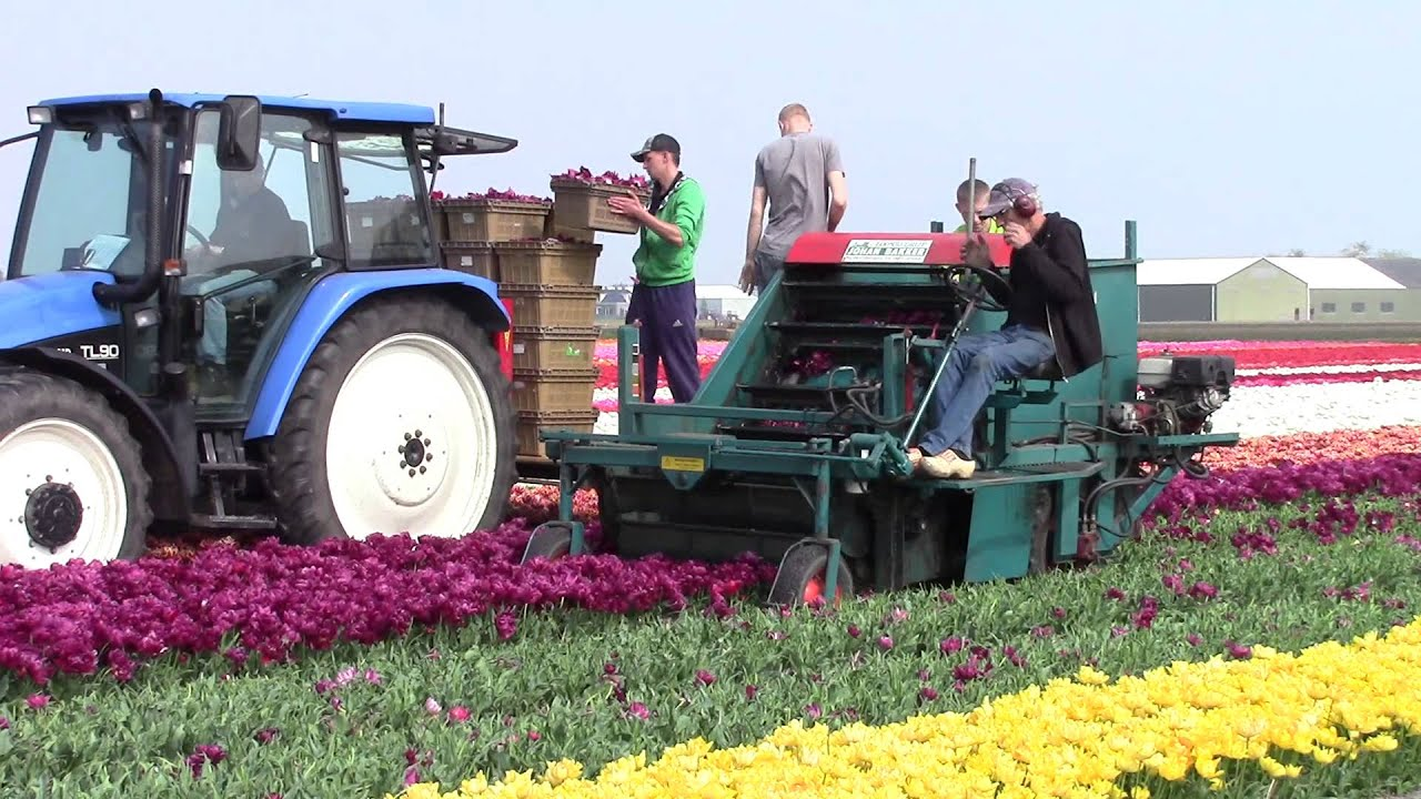 How to Harvest Tulips
