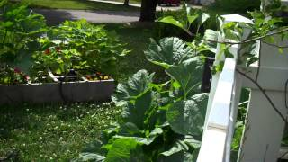 Growing Squash and Zucchini in a Raised Bed or Square Foot Garden.MP4