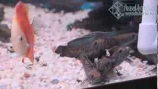 Змееголовы Блехера, арованы, дискусы, боции клоуны, хальцеусы - купить в СПб(Продолжаем рассказ о торговых аквариумах в АкваИнтерио. Вот еще один: здесь змееголовы Блехера (Channa bleheri),..., 2013-12-28T09:37:06.000Z)