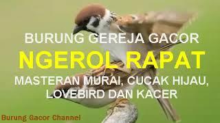 Gambar cover BURUNG GEREJA GACOR NGEROL RAPAT