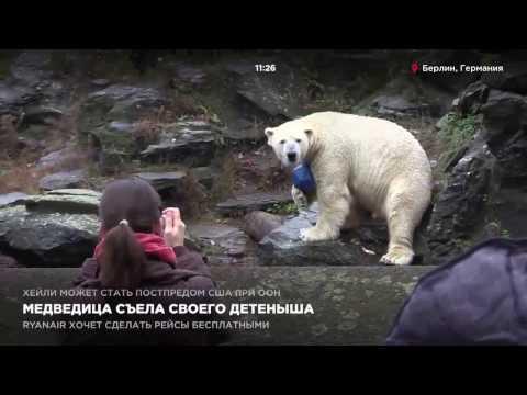 Белая медведица съела своего детеныша