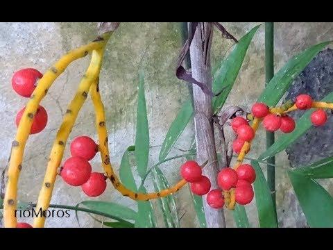 Palma bambú: Chamaedorea microspadix (www.riomoros.com)
