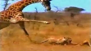 キリンVsライオンの最高のコンパイルで殺害して復讐 キリンVsライオンの...
