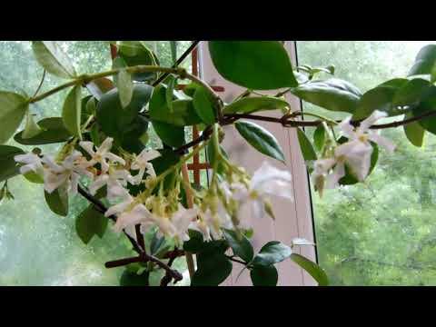 Комнатные растения. В пене душистых цветов - Трахелоспермум  жасминовидный звездчатый .