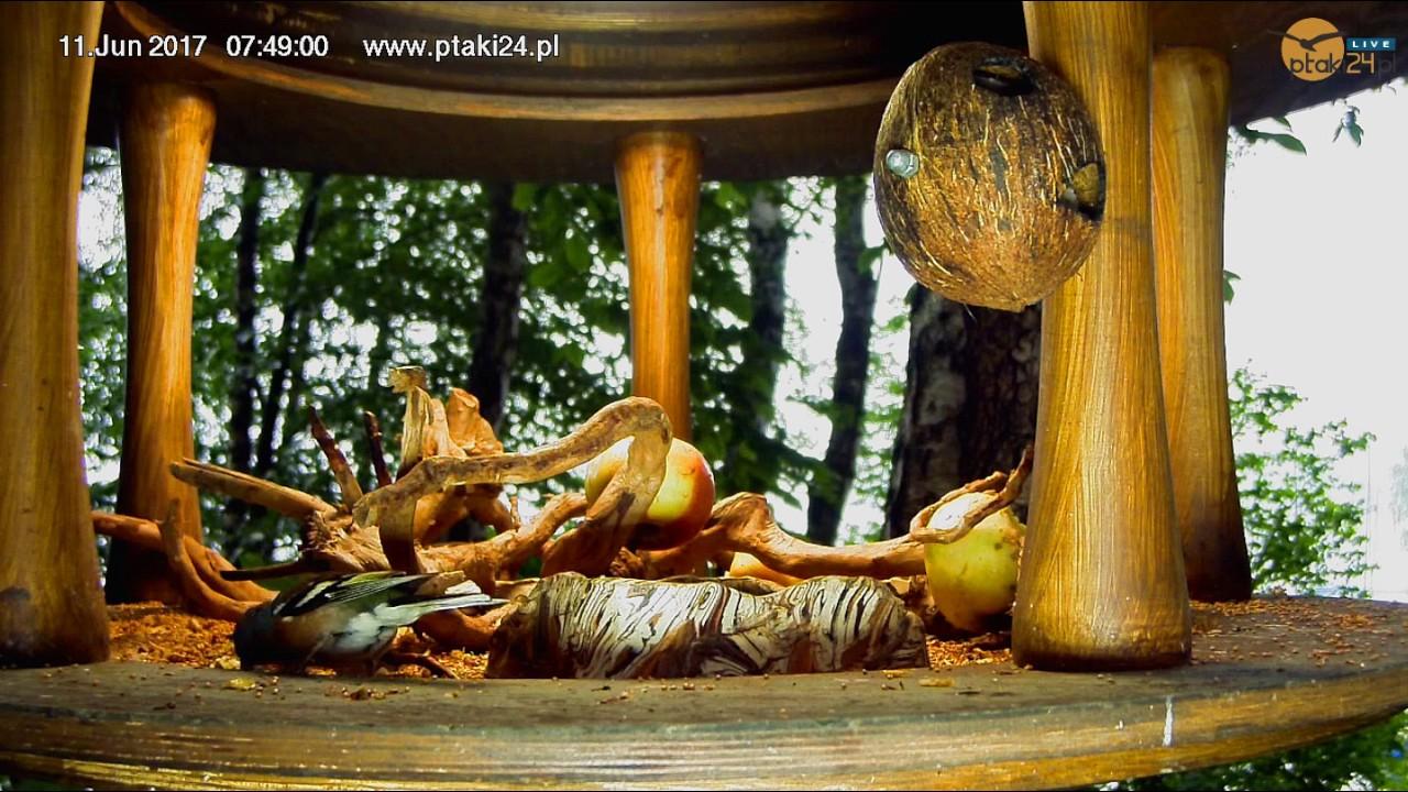 Zięba, bogatka, kos i kwiczoł w karmniku dla ptaków nad Soliną