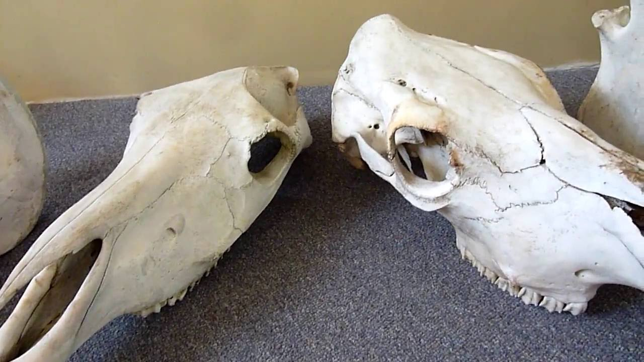 hight resolution of horse cow skull identification